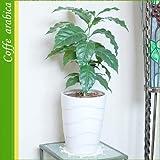 コーヒーの木 ラウンド 白陶器鉢 【鉢B】 つやつや葉っぱが可愛い♪(陶器鉢)