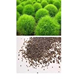 alkarty kochia seed 10 pices