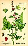 Chenopodium Capitatum, Strawberry Spinach / Blite 400+ seeds, Beet Berry, edible