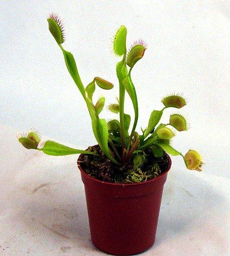 Venus Flytrap Carnivorous Plant 3 Inch Pot