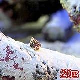 (海水魚 貝 無脊椎)生餌 エサ用小型巻貝(チグサガイ ミックス) コケの掃除(20匹) 本州・四国限定[生体]