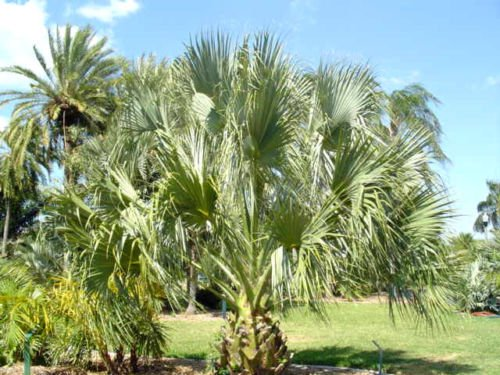 Sabal Palm