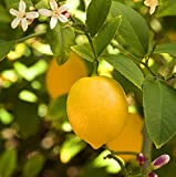 Meyer Lemon Tree - Potted - Fruiting Size (No Shipping To: AZ, Ca, FL,TX)