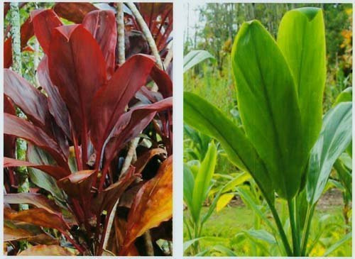 Hawaiian Ti Plant Logs 1 Red 1 Green ~ Grow Hawaii by Kanoa Hawaii (For Ti Plant compare prices)