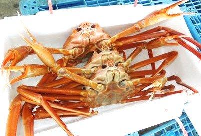 能登 西海漁協直送 黄金がに 大サイズ(800g以上)