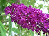 50 Violet Purple BUTTERFLY BUSH Buddleia Davidii Flower Shrub Seeds