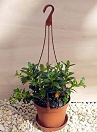 Goldfish Plant – 6″ Hanging Basket -…