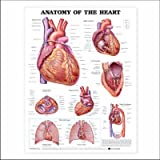 Anatomy of the Heart Anatomical Chart Plastic