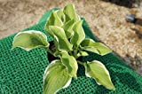 ホスタ ノックアウト(斑入り ギボウシ) 日陰やワンポイントの植栽に最適♪