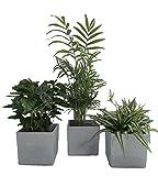 Amazon.de Pflanzenservice Zimmerpflanzen Luftrein Mix im Scheurich Würfelumtopf grau-stone