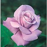 バラ苗 シャルルドゴール 国産大苗6号スリット鉢 ハイブリッドティー(HT) 四季咲き大輪 紫系