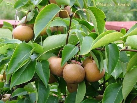asian-pear-tree-nashi-unusual-and-delicious-fruit-tree