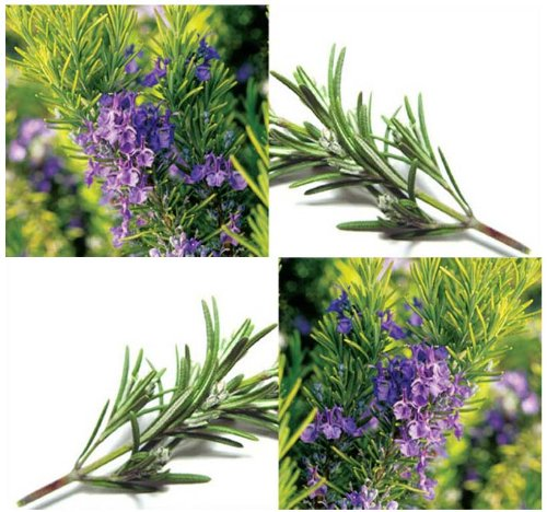 1/8 Oz (2,200+ Seeds) Rosemary Seeds - All Purpose Seasoning For Meat & Sauces ~ Perennial Herb ~