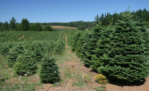 Edeltanne (Abies procera, Syn.: Abies nobilis) 15 Samen >Frisches Saatgut< In den USA ein sehr beliebter Weihnachtsbaum Picture