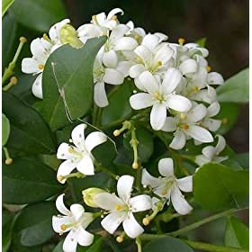 Orange Jasmine Plant -VERY FRAGRANT- SALE* - 4