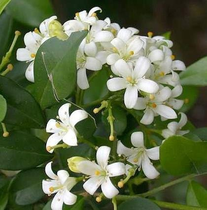 Buy Orange Jasmine Plant -VERY FRAGRANT- SALE* -4″ pot