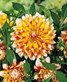 Peaches & Cream Dahlia - 2 Tubers - Orange-yellow-White