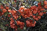 RP Seeds Chaenomeles Japonica Flowering/ Japanese Quince Seeds