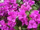 """Purple Bougainvillea Live Plant- In 4"""" Pot"""