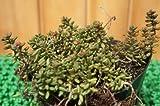 【育てやすい】セダム/コーラルカーペット 多肉植物(セダム)