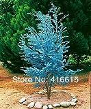 サイダーガムユーカリハーブ25種 - ブルーユーカリgunnii、プロフェッショナルパッキング、美しい葉植物の種子、+謎のギフト