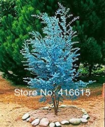 Cider Gum Eucalyptus Herb 25 Seeds - Blue Eucalyptus gunnii,Professional Packing,Beautiful Leaves Plant Seeds,+Mysterious Gift