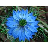500 LOVE IN A MIST Miss Jekyll Blue (Fennel Flower) Nigella Damascena Flower Seeds