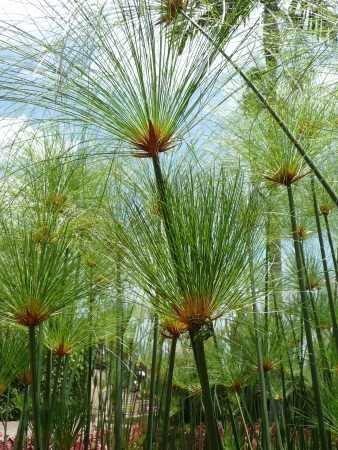 tropica-aquatic-plants-egyptian-papyrus-cyperus-papyrus-15-seeds
