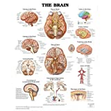 The Brain Anatomical Chart Poster Print – 20×26