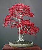 Roter Fächerahorn - Bonsai - Acer palmatum atropurpureum - 20