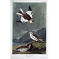 Snow Bunting by James Audubon