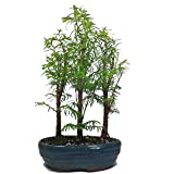 Dawn Redwood Bonsai Tree Group - 3 trees