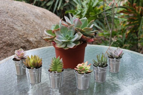 30 Gorgeous Succulents in 30 Adorable Silver Pails