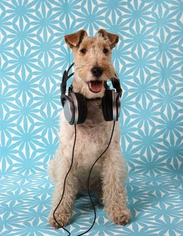 Corbi Wall Decals Fox Terrier With Headphones - 24 Inches X 19 Inches - Peel And Stick Removable Graphic