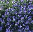 Echium plantagineum 'Bedder Blue' / Hardy Annual / Seeds