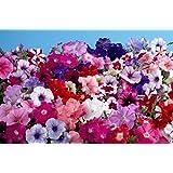 PETUNIA MULTIFLORA MIX FLOWER SEEDS BY KRAFT SEEDS [PACK OF 5]