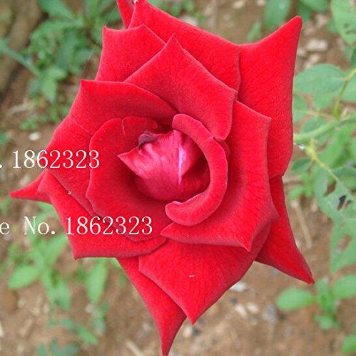 hot-plants-de-graines-couleur-orange-rainbow-rose-graines-de-charme-fleur-chinoise-bonsai-pour-garde