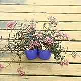 山野草 観葉植物 多肉植物:カラス葉ミセバヤ2個セット*からすばみせばや