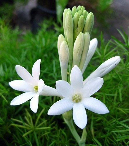 Tuberose, Mexican Tuberose - Single Flower Form (3 bulb clumps) - Fabulous Fragrance! (Fragrant Flower Bulbs compare prices)