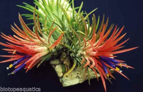 tillandsia-ionantha-rubra-red-live-airplant-for-house-vivarium-decoration-plant