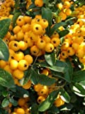 1X 3-4FT LARGE PYRACANTHA SOLIEL D'OR PLANT - EVERGREEN SHRUB - 3L