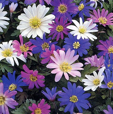 Anemone-blanda-Bulbs-20-Spring-Flowering-Bulbs-Special-Cheap-Offer