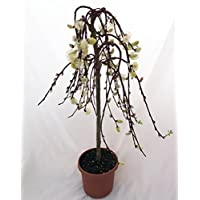 'Tree of Enchantment' Mini Weeping Pussy Willow Tree - Bonsai or Outdoors-6