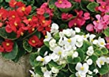 """BEGONIA ( X SEMPORFLORENS) """"BADA BING MIX"""" BLOOMS SUMMER TO FIRST FROST SUN TOLERANT WAX LEAF ASSORTED COLOR MIX 50 PELLETED SEEDS"""