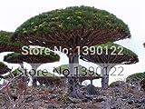 10 rare Dracaena tree seeds Canary Island Dragon blood tree (Dracaena draco) showy