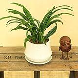 観葉植物:オモト 万年青*ムードラウンドB 受け皿付 ホワイト陶器鉢 おもと