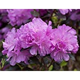 'Amy Cotta' Rhododendron - Proven Winners - Lavender/Pink Blooms