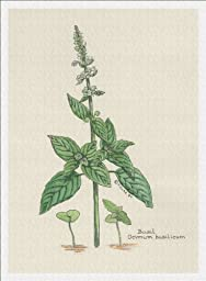 Botanical Print of Sweet Basil Herb From Culinary Herbs Group, 7 X 10 Inches, High Quality Giclee Print