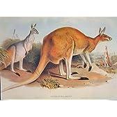 Gould? の ? s のほ乳類のオーストラリア 1863great の赤いカンガルー Rufus