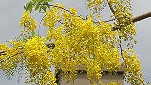 Seedlings India Seedlings india Amaltash Seeds